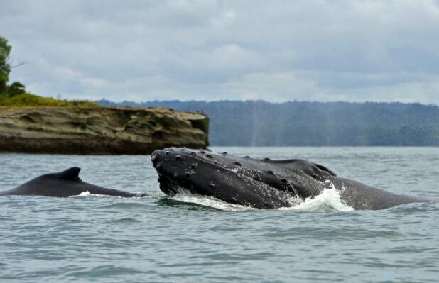 座头鲸宝宝与妈妈会说悄悄话 以躲避潜在掠食者
