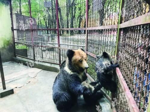 贵州六盘水动物园一头熊妈妈连续4年产仔创下奇迹