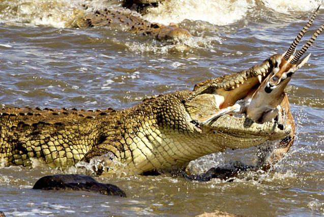 生死时速!肯尼亚巨鳄血盆大口秒杀小羚羊
