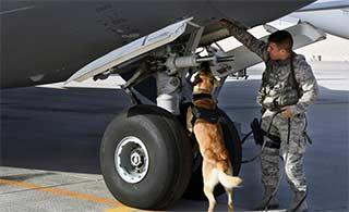 军犬尽职尽责搜索C17上可疑物品