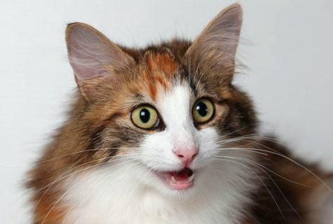 猫奴福音!爱尔兰举行第26届至尊猫展