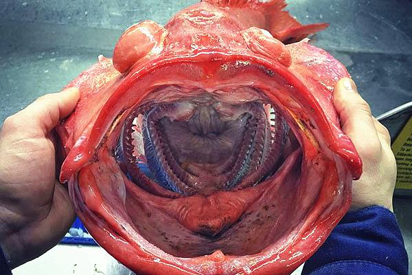 俄探险家发照揭深海最奇异鱼类真容