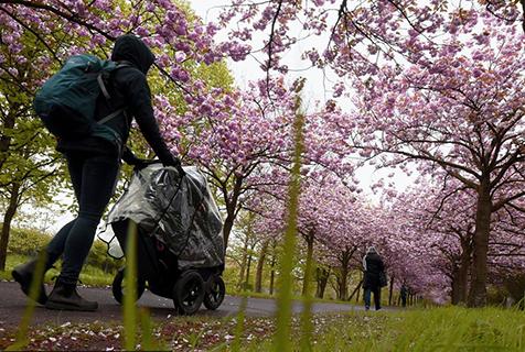 德国柏林:春日迟迟 樱花大道风景宜人