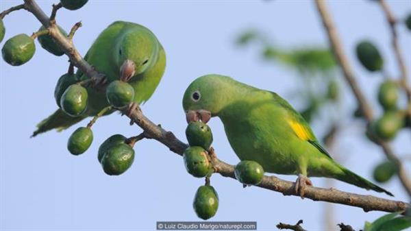 图为黄翅斑鹦哥。 巴西有一种颜色鲜艳的鸟,名叫黄翅斑鹦哥(yellow-chevroned parakeets),它们会把巢筑在废弃的白蚁丘里。 这种鸟会用坚硬的喙把白蚁丘的墙壁刮薄,好为自己的家人腾出足够的空间。但它们偶尔也会换一种方法,把墙壁一点点地吃掉。 这种行为名叫食土癖(geophagy) ,在鸟类中十分常见,很多鸟儿更是喜欢吃黏土层中的土。但白蚁丘中的土与普通的土有着很大的区别。 在2015年的一项研究中,研究人员把白蚁丘墙壁上的土与底部的土进行了比较。他们发现,墙壁上的土中含有的有机