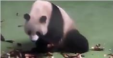 实拍熊猫也能动如脱兔 萌翻网友