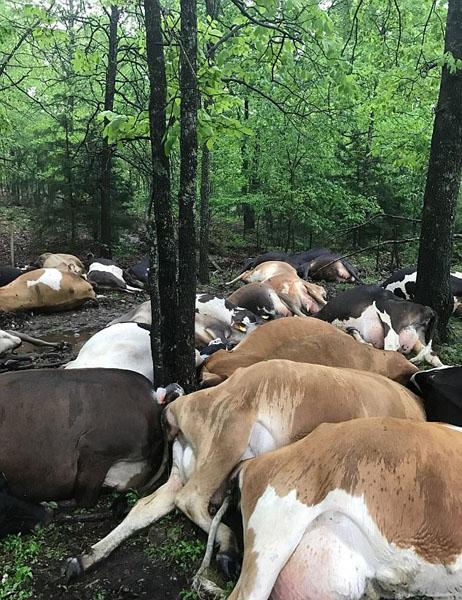 美农场32头奶牛遭雷电击中死亡 损失约41万元