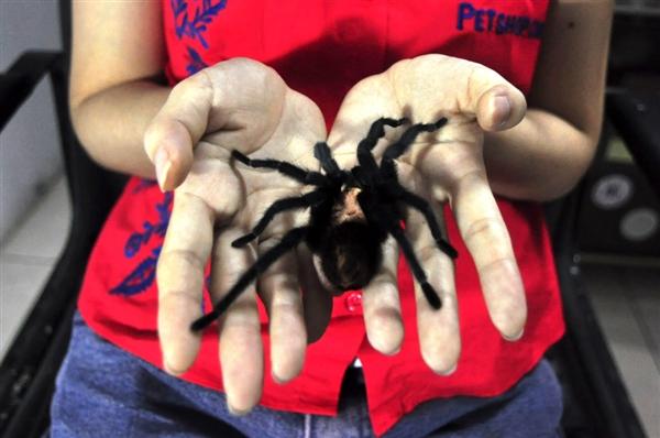 印尼女子养1500只狼蛛当宠物 画面不敢直视