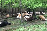 美農場32頭牛遭雷電擊中死亡