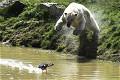 饑餓北極熊捕捉水鴨失手 畫面滑稽