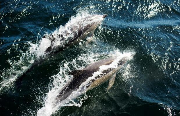 研究:野生海豚接触太多污染 人工饲养更健康