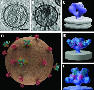 科学家成功治愈一只艾滋病活体白鼠