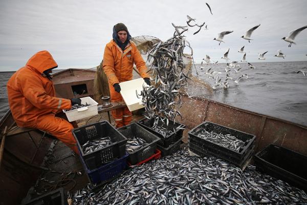 俄罗斯渔民捕捞胡瓜鱼 海鸥围绕求食