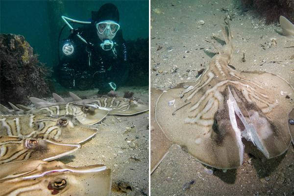 澳潜水员海底发现若干提琴鳐 头部均被砍成两半
