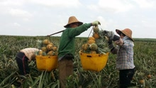 人形传送带!农民摘菠萝节奏逆天