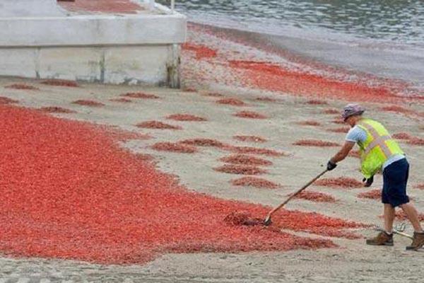 美国加州某海岸遭千万只小龙虾入侵