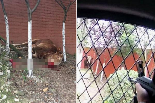 900斤大黄牛发疯闯入城区 被警察两枪击毙