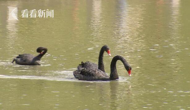 公园一只黑天鹅不见了 竟然被小偷拿回家炖萝卜吃