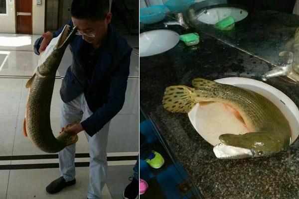 一高校钓起1米长尖嘴怪鱼 专家:吃了致命