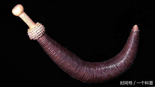 发现5亿年前的新物种:如同人类男性阴茎形状
