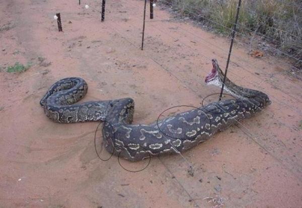 5米长巨蟒成精:失踪两周后自己找回家网友惊叹