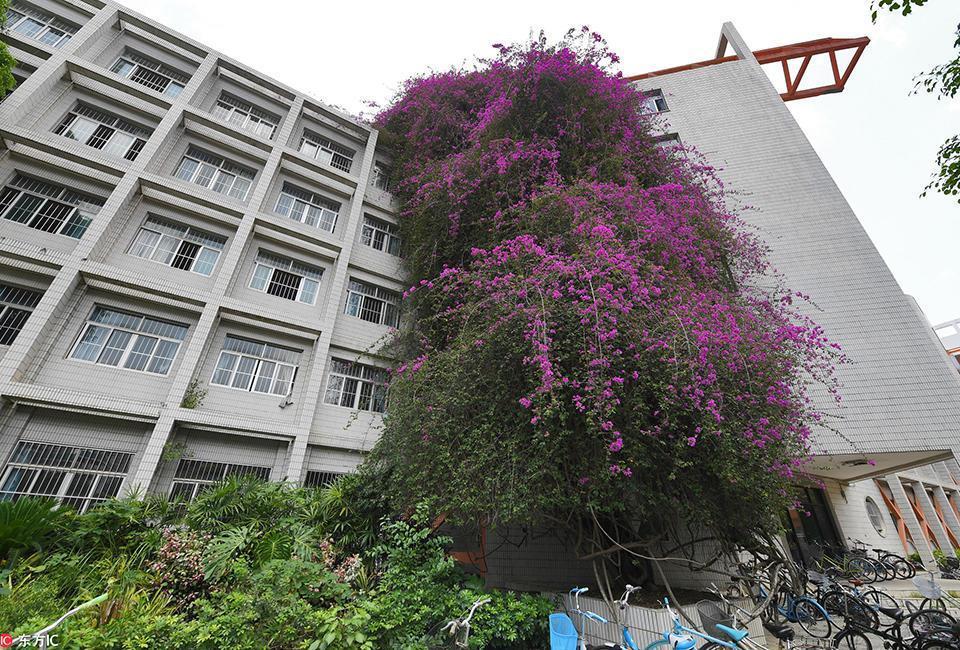"""广西大学现巨型""""鲜花瀑布"""" 18年长30米高"""