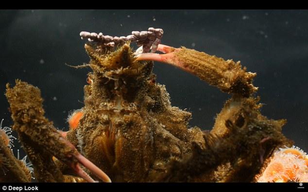 揭秘伪装蟹绝妙伪装术 如何完美避开捕食者?