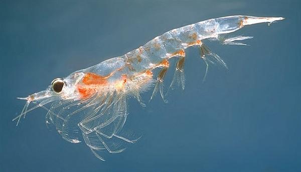 吃货们约吗?南极磷虾多达10亿吨:高蛋白