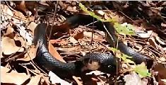 美国捕蛇人赤手捕获5米长巨蟒