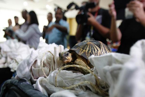 马来西亚海关截获数百只走私濒危陆龟