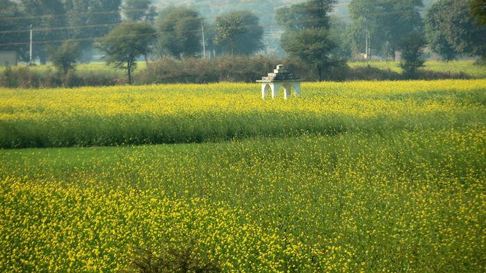 印度首个转基因粮食作物种植将审批通过