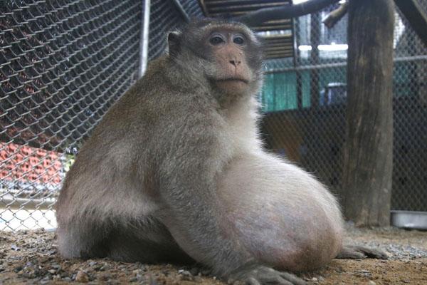 """泰国猕猴人称""""胖叔"""" 太贪吃成网红被强制减肥"""