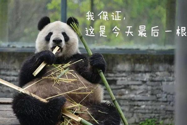 """吃饭香了体重长了 萌萌哒""""蜀兰""""回来了"""