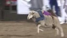 德州传统竞赛 孩童倒骑绵羊