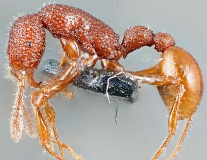 """科学家找到稀有""""暴龙蚂蚁"""" 发现其徒有其名"""