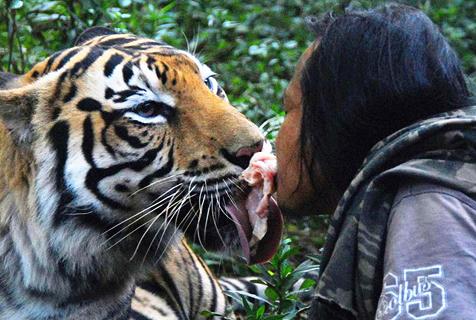 印尼男子养老虎亲密无间 友好相处