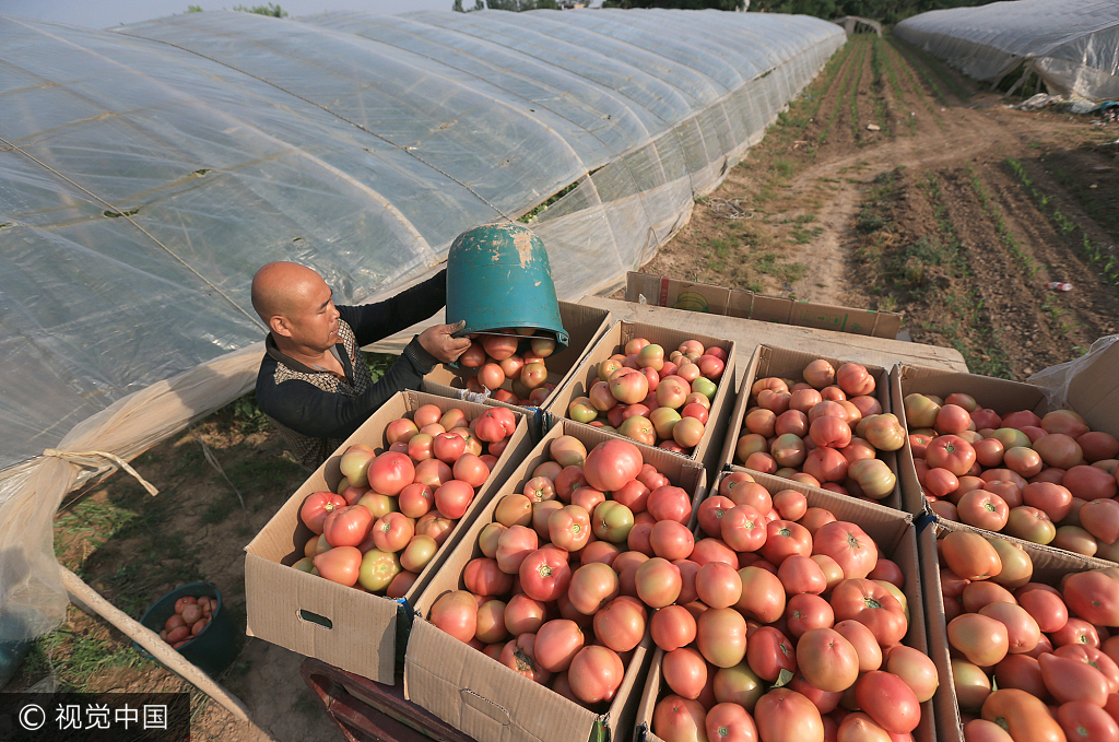 西安:夫妻种植西红柿20年 收获季总收入可达60万