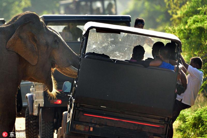 """2016年4月20日报道,斯里兰卡雅拉国家公园,一头暴怒的大象""""攻击""""一辆载满游客汽车,求食物吓坏游客。这头暴怒的大象将它的象鼻伸进了一辆在路边熄火的吉普车中,想要从游客那里获取食物,这一行径可着实吓坏了吉普车上的游客。摄影师Sidath Wanaguru拍摄下了这一惊险的画面。东方IC"""