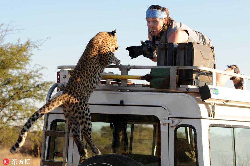 业余摄影师Sergey Ivanov和他的搭档Sergey Kotelnikov开着吉普车在纳米比亚与博茨瓦纳边境的草原上发现了一只玩耍的小豹子,就在他们爬上车顶上想要近距离拍摄它时,小豹子突然跳上车顶,与举着相机的Kotelnikov来了个面对面的亲密接触,Kotelnikov吓得瞠目结舌,这一惊心动魄的画面被趴在另一辆车上的Ivanov记录了下来。东方IC