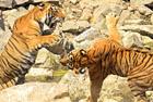 两老虎演绎一山不容二虎