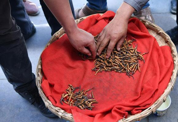 云南藏区新鲜虫草集中上市 价格上涨
