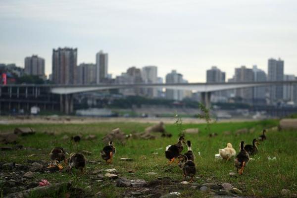 嘉陵江重庆段河床干枯 变市民养鸭地