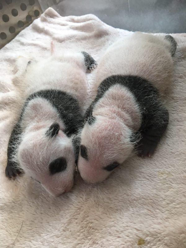 2017年全球第一对圈养大熊猫双胞胎在成都诞生