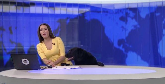 俄新闻直播遭蠢萌小熊乱入 不速之客观望电脑好奇宝宝上线