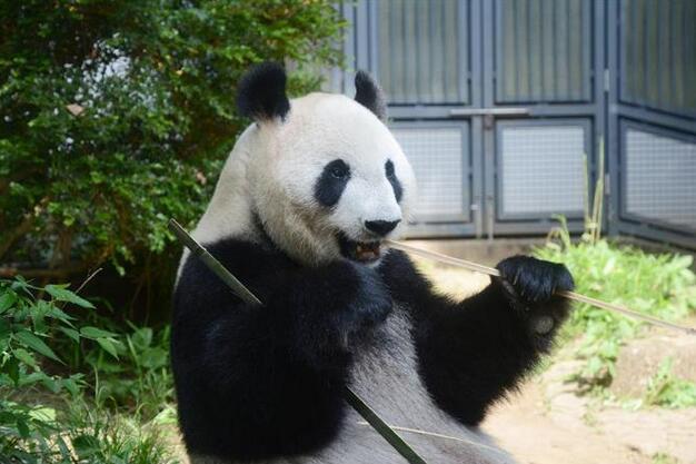 东京上野动物园中国大熊猫真真疑似出现怀孕征兆