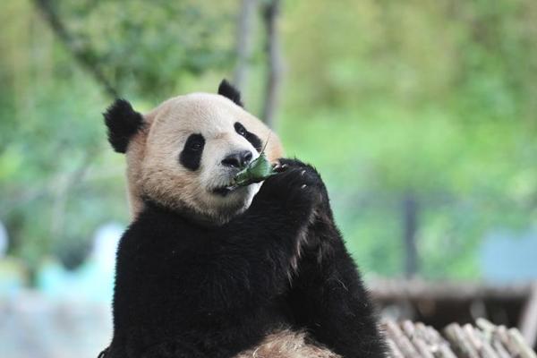云南昆明野生动物吃粽子迎端午