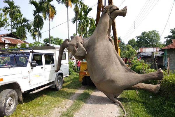 印度大象稻田漫步触电身亡 硕大体型用起重机转移