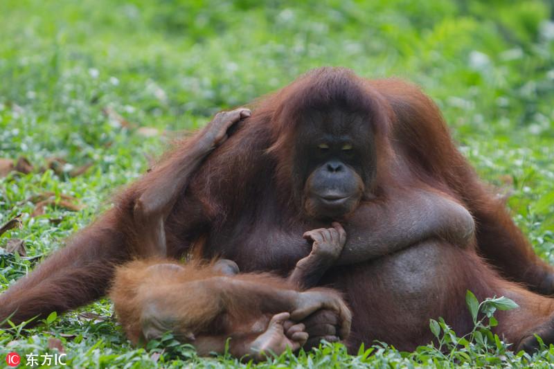 猩猩哺乳期长达八年 堪称哺乳动物之最 男子发现