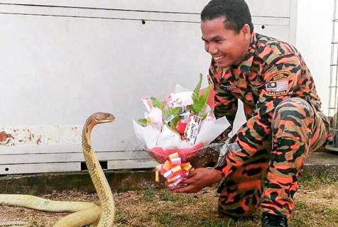 马来男子训蛇有道 把眼镜蛇养成家宠