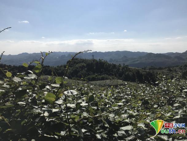 """【砥砺奋进的五年】贵州修文县猕猴桃产业:农业插上""""大数据翅膀""""更给力"""