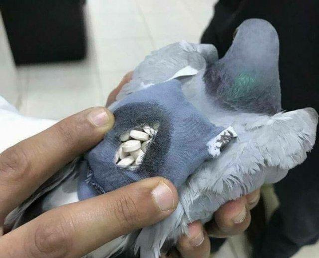 信鸽包里装的不是家信而是上百粒毒品药丸